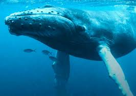 whale size has always been the reference point for the something big the whales are big enough to be one of the biggest s found in the world