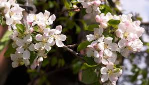 Insecticide For Bagworms On A Crabapple Tree Garden Guides
