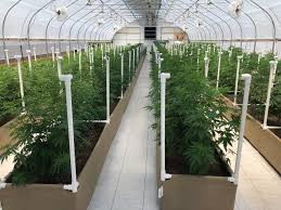 Automated Light Deprivation 7 Benefits Of Cultivating Hemp Cbd In An Automated Light