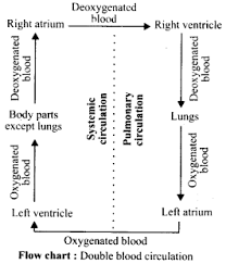 What Is The Path Of Blood Flow In The Systemic Vascular