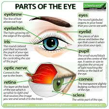 Iris Size Chart Parts Of The Eye English Vocabulary Woodward English