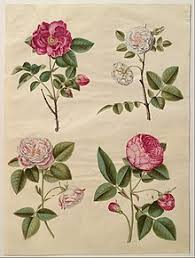 ∎ a stylized representation of the flower in heraldry or decoration, typically with five petals. Rose Symbolism Wikipedia