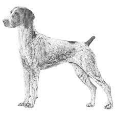 Small Picture German Shorthaired Pointer Dog Breed Information American Kennel