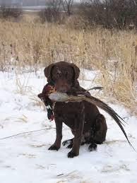 chocolate lab pheasant hunting. Perfect Chocolate FileChocolate Labrador Retriever Pheasantjpg With Chocolate Lab Pheasant Hunting R
