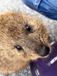 celebrating the world s cutest marsupial a quokka photo essay quokka rottnest island photo essay