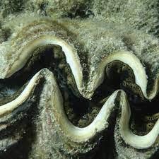 Environman - หอยมือเสือ (Giant Clams ; Tridacna)  จะเรียกว่าเป็นดวงตาก็ไม่เชิง เพราะการมองเห็นของมันค่อนข้างแย่  แต่พวกมันมีตาเป็นจุดที่ขนาดเท่ารูเข็มไว้ตรวจจับแสงและวัตถุที่เคลื่อนที่เพื่อที่พวกมันจะสามารถปิดฝา หอยหลบนักล่าได้ทัน ดวงจุดดวงตาของมันนั้นมี ...