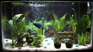 Betta Art Decorative Fish Bowl 60 Gallon Female Betta Sorority Planted Tank The Pets 45