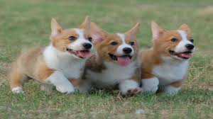 corgi puppy playing. Interesting Puppy In Corgi Puppy Playing YouTube