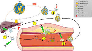Cholesterol Levels Chart 2015 Frontiers Reverse Cholesterol Transport Molecular