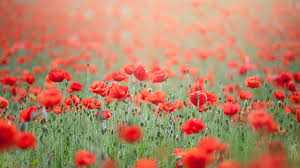 Resultado de imagen para imagenes de campos de flores