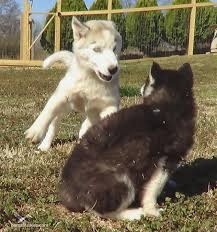 how much do husky puppies cost siberian husky puppies short haired