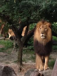 this is an amazing shot of the lions at busch gardens tampa bay by b