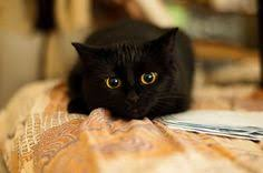 black cats with gold eyes.  Gold Beautiful Black Cat With Golden Eyes With Black Cats Gold Eyes
