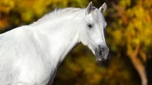 Equine Melanoma Harmless Bump Or Time Bomb Expert How To