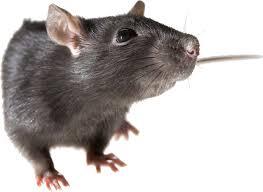 Image result for tikus