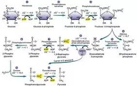Is There A Fast Way To Learn The Pathway Of Glycolysis Quora