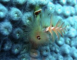 Christmas Tree Worm  Divetimecom  Scuba Diving PhotosChristmas Tree Worm Facts
