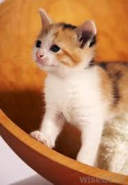 fluffy baby calico kittens. Fine Calico Calico Cats Are With A Distinctive White Coat Black And Orange  Patches The Color Of Calico Cat Is Caused By A In Fluffy Baby Kittens L