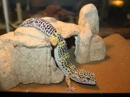Leopard Gecko Age Chart Petmd Mobile Species