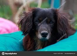 Dog Breed Black Dachshund Lying Blanket ...