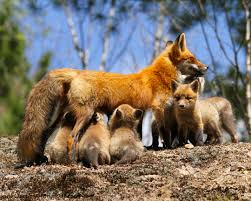fox pictures to print. Beautiful Print Red Fox  Print 17 To Pictures S
