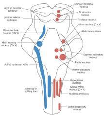 Ageless Cranial Nerve Innervation Chart Cranial Nerve