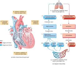 Systemic And Pulmonary Circulations Human Anatomy