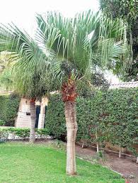 fan palm. growing conditions for the chinese fan palm u