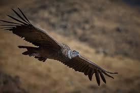 Andean Condor Wikipedia