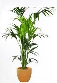 modern office plants. AJK7BG Kentia Palm Or Thatch Howea Forsteriana Modern Office Plants T