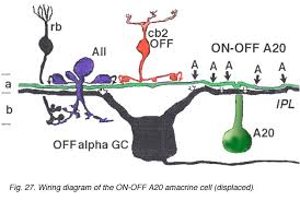 roles of amacrine cells by helga kolb webvision both a19 and a20 cells are probably involved in the transfer of fast messages from one part of the retina to another they be the basis of the proximal
