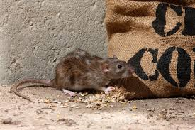 How to Prevent Imminent Rodent Infestations - Pest Solutions