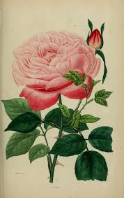 Gravures De Fleurs Gravure Fleur De Jardin 10279 Rose The Comte