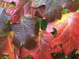 How To Grow Oakleaf Hydrangea Shrubs