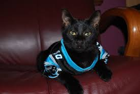 Image result for cats wearing nfl jerseys