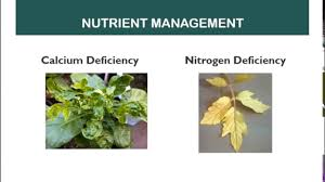 How To Identify Nutrient Deficiency And Fertilizer Application