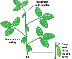 Soybean Growth Stages Kasta Magdalene Project Org