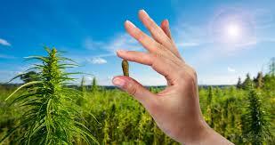 cannabis oil thc amsterdam