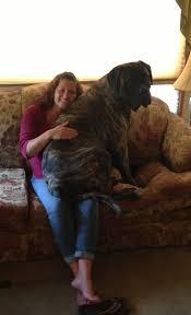 lap dog | Lap dogs, Dogs, English mastiff