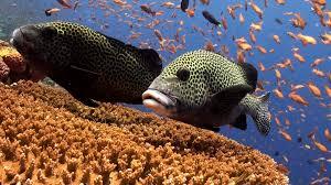 School of colorful fish and big sweetlips on reef Amazing