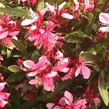 Usa Alaska Andromeda Polifolia Small Shrub With Pink Flowers And Shrub With Pink Flowers