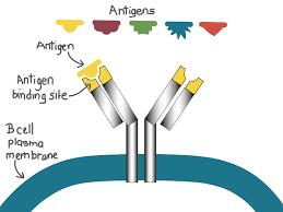 Adaptive Immunity Immune Response Article Khan Academy