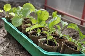 <b>Удобрения</b> для подкормки <b>рассады</b> | <b>Азбука</b> садовода