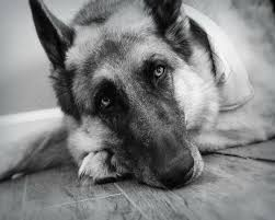 black and white german shepherd photography. Contemporary White Image 0 And Black White German Shepherd Photography