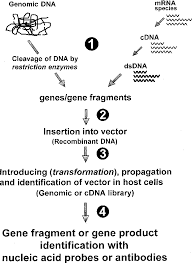 Figure 3 From Strategies For Gene Cloning Semantic Scholar