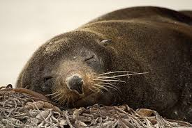 Image result for fur seal
