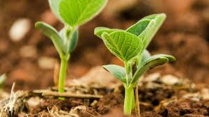Visual Guide Soybean Growth Stages Soybean Research