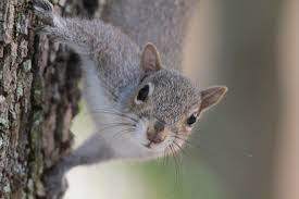 grey squirrel house plans fresh squirrel alarm calls are surprisingly plex