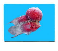 Aquarium Design For Flowerhorn Amazon Com Luxlady Placemat Image Id 42903252 Flowerhorn