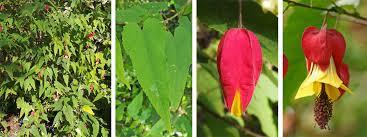 abutilon megapotami plant l narrow leaves lc flower bud